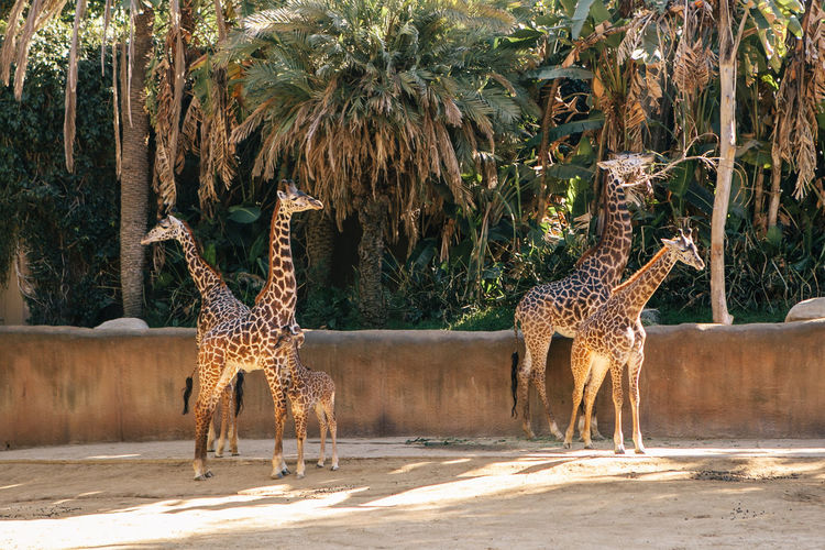 Giraffes with calf standing against trees
