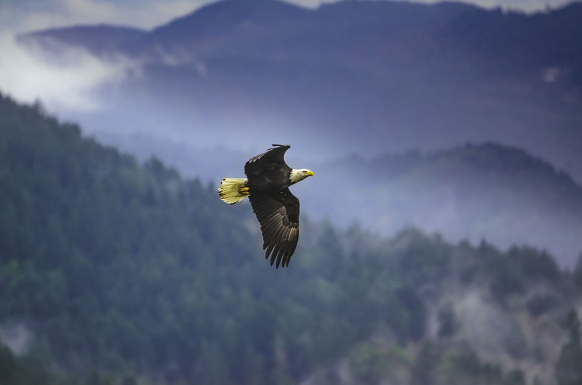 Animal Themes Animals In The Wild Bald Eagle Beauty In Nature Bird Bird Of Prey Eagle Flying Freedom Landscape Natural Beauty Nature North America North American Outdoors Spread Wings