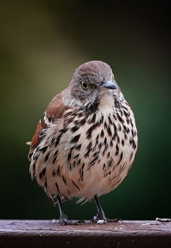 A plump brown thrasher lands on the deck
