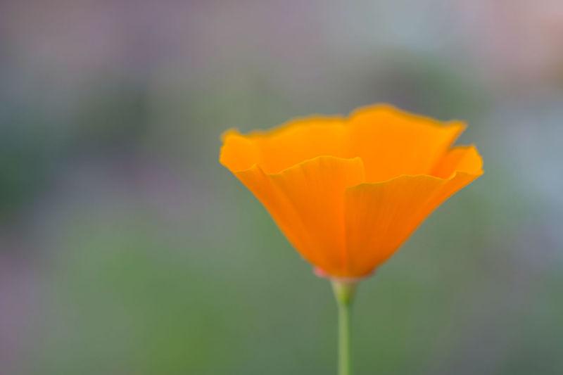 Close-up of orange tulip
