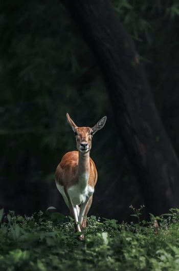 Deer standing on tree trunk in forest