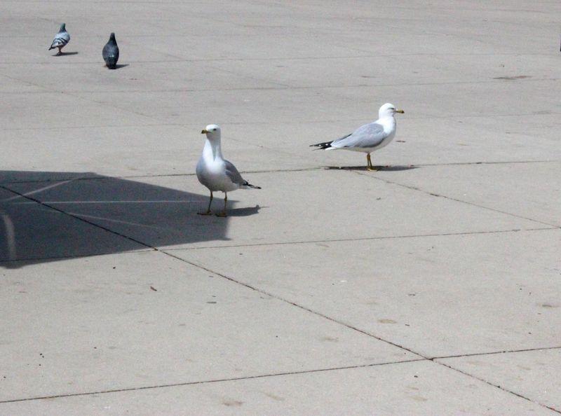 At The Park Bird Bird Photography Bird Watching Millenium Park Millennium Park Outdoors Seagull Seagulls Sunny Day
