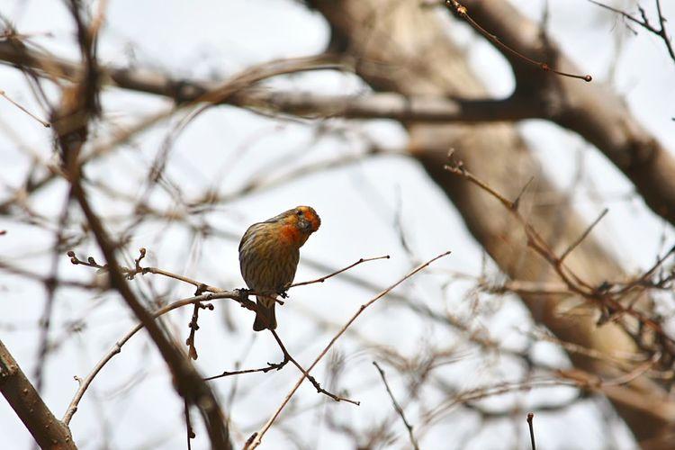 Perching Bird Bare Tree Beauty In Nature Outdoors Spring Caldwell Idaho Huston Idaho