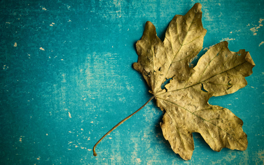 The Minimalist - 2019 EyeEm Awards Plant Part Leaf Dry Close-up No People Indoors  Still Life Directly Above Nature Vulnerability  Fragility High Angle View Autumn Blue Table Textured  Change Leaf Vein Leaves Maple Leaf Dried Textured Effect Minimalism