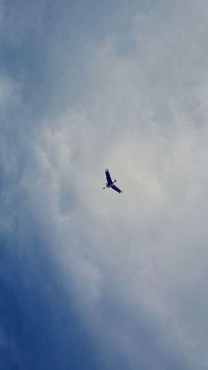 【Hyogo,Japan】Stork コウノトリ September Toyooka City Happy Japan Stork Natural Monument Airshow Flying Bird Sky