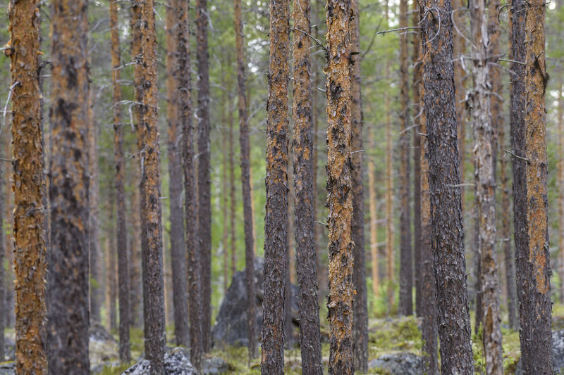 Panoramic shot of pine trees in forest