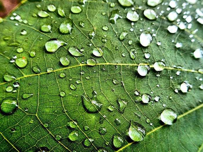 The most certain sign of wisdom is cheerfulness. Lotus Leaf Water Leaf Backgrounds Full Frame Drop Close-up Green Color Leaf Vein Natural Pattern Water Drop Droplet Wet