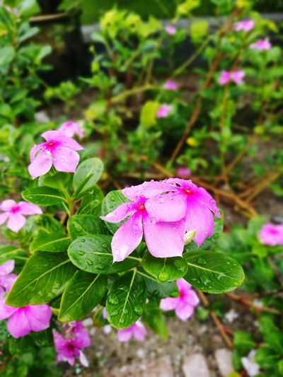 Afterrain Pink Color Flower Plant Leaf Nature No People Beauty In Nature Purple Flower Head Outdoors Summer Close-up Growth Day Fragility Botanical Garden Freshness Periwinkle Muslimtraveller All will be lost like tears in rain.