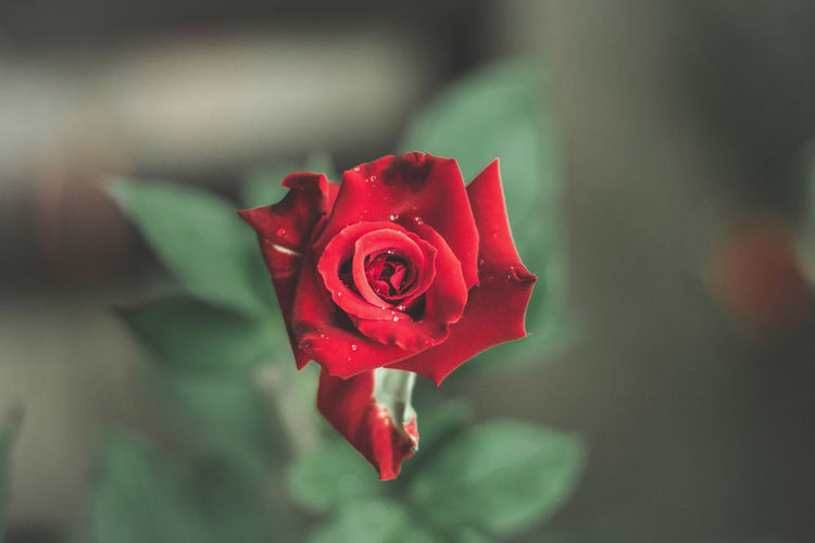 Rose on a rainy day. Rosé Flower Rose - Flower Flowering Plant Close-up Red Flower Head Nature No People Plant Beauty In Nature
