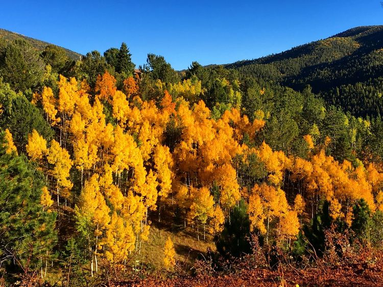 Tree Clear Sky Tranquil Scene Beauty In Nature Mountain Growth Autumn Scenics Tranquility Blue Nature Non-urban Scene Change Day Yellow Green Lush Foliage Outdoors Multi Colored Green Color Colorado Rocky Mountains Cripple Creek