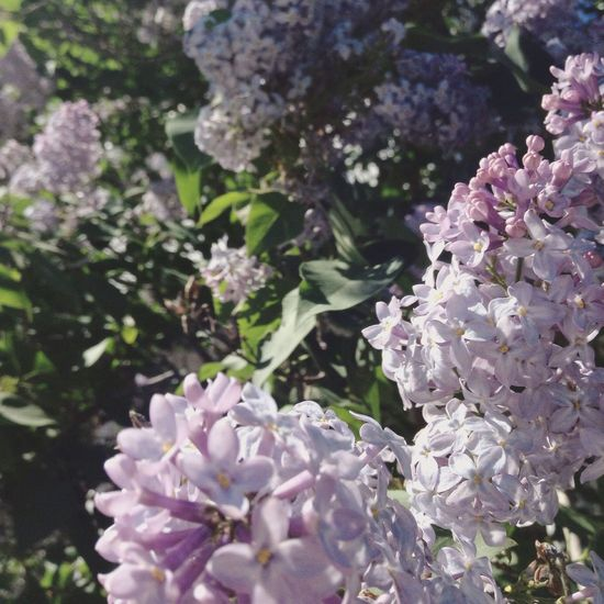 This has to be one of my favourite photos that I've ever taken Lilac Flowers Nature My Favorite Photo