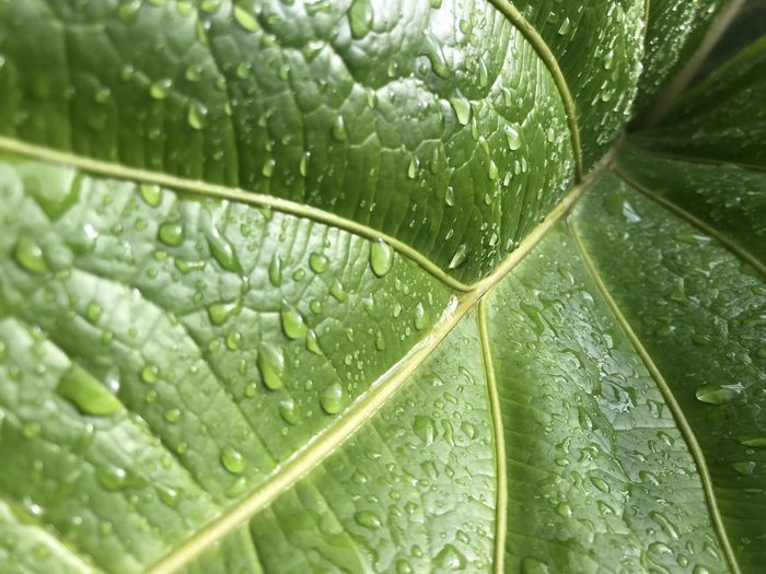 Close-up of wet green leaves during rainy season