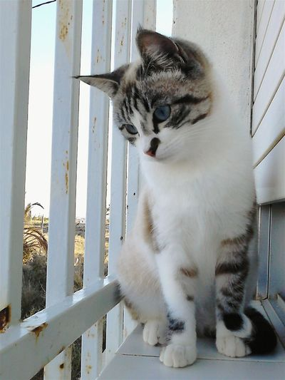 Domestic Cat Pets Domestic Animals One Animal Feline Mammal Animal Themes Cat No People Day Portrait Outdoors Cat Lovers Cat♡ Catsagram BlueEyes Pet Portraits