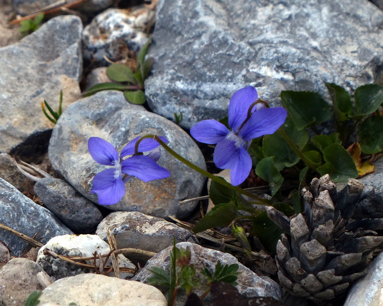 flower, rock - object, nature, beauty in nature, purple, fragility, no people, petal, flower head, day, outdoors, plant, high angle view, growth, blue, close-up, blooming, freshness, animal themes, crocus