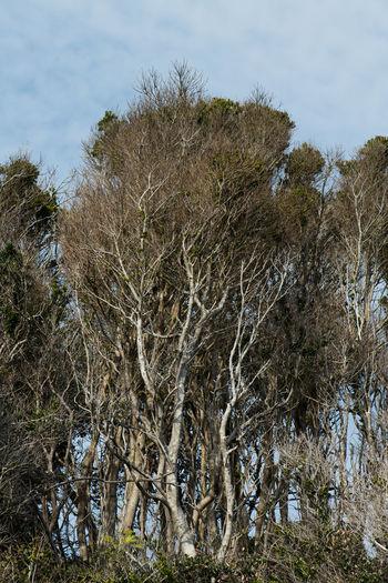 Black ridge oak