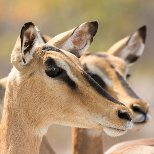 Close-up of two black-faced impala