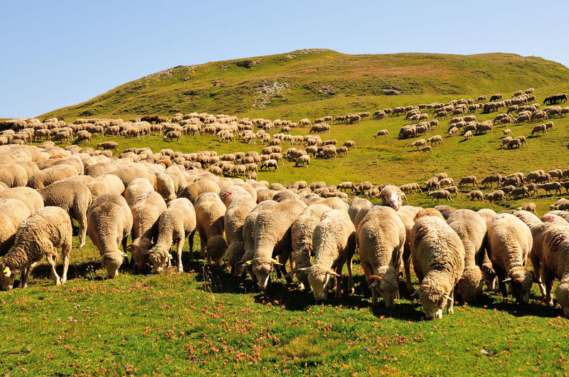 View of sheep on grassy field