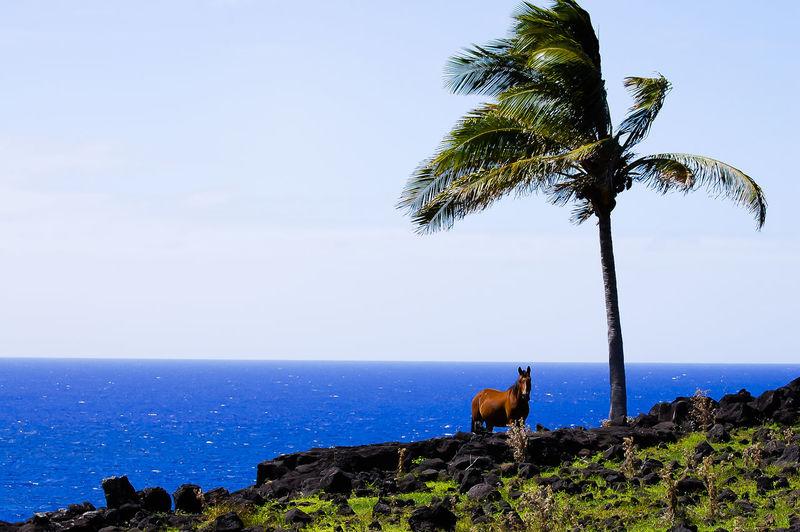 Horses on Coastal Pasture - Easter Island Chile Easter Island Horses Isla De Pascua Pasture Rapa Nui Mammal Palm Tree Sea