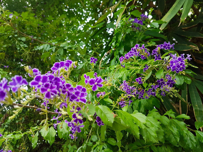 Duranta Purple And White Small Flowers Cluster Of Flowers Leaves Duranta Golden Dewdrop Flower Leaf Purple Tree Flower Head Close-up Green Color Plant In Bloom Plant Life Blooming