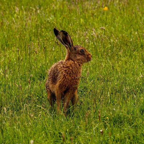 Brown hare on grassy field