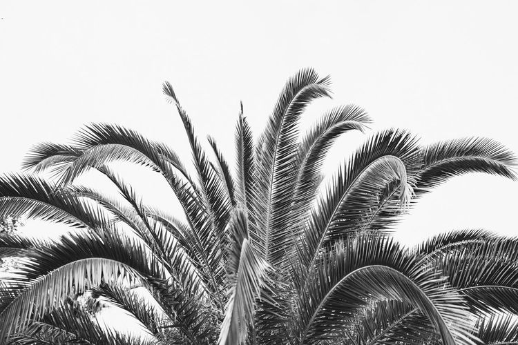 Palm, Black and