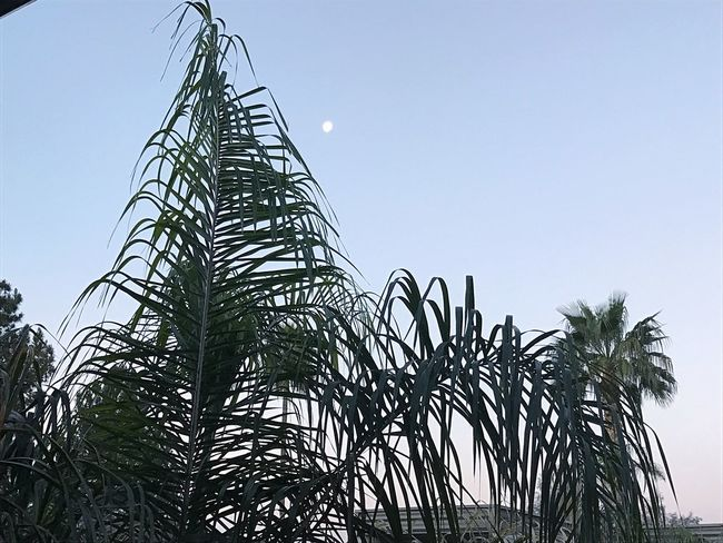 Morning moon No People Clear Sky Nature Growth Outdoors Sky Tree Day Beauty In Nature