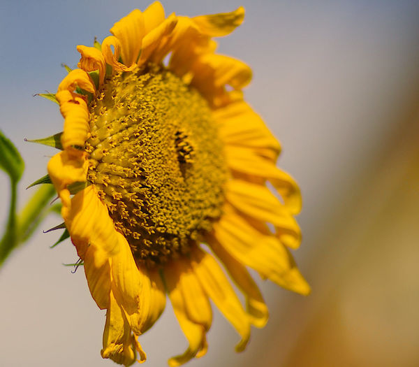 Beauty In Nature Blooming Close-up Day Flower Flower Head Focus On Foreground Fragility Freshness Nature No People Outdoors Petal Pollen Sunflower Yellow