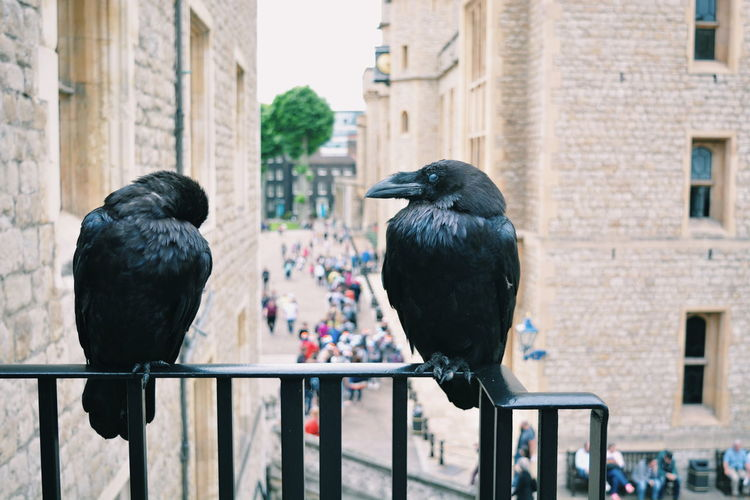Ravens perching on railing at tower of london
