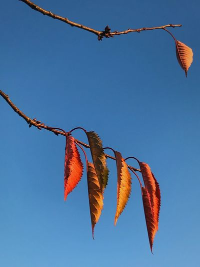 Leaves Golden Fall Autumn Sky Low Angle View Hanging No People Nature Clear Sky Autumn Mood
