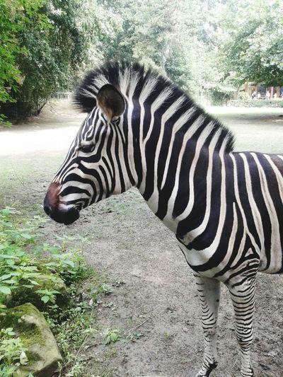 Zoo Animals  Enjoying Life Hello World Holiday Memories Withfilter Colors 2016♡ Zebra Zebra♥