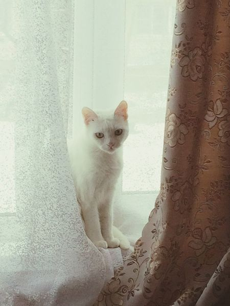 Animal Themes Domestic Animals One Animal Pets Mammal Domestic Cat Cat Looking At Camera Curtain White Peeking Feline Alertness Day Zoology