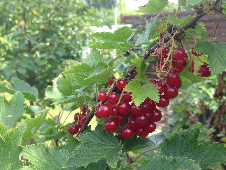 Redcurrant Beauty In Nature Close-up Food Food And Drink Fruit Green Color Leaf Nature Outdoors Plant Red Redcurrants