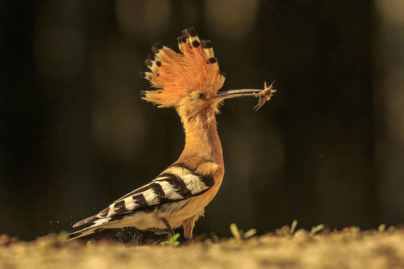 The hoope is a beautiful bird with a long bill, perfect for digging out insects. When the bird lands it raises its feather plumage on the head for a second or two. Animal Themes Animal One Animal Animals In The Wild Animal Wildlife Vertebrate Bird No People Nature Selective Focus Close-up Day Focus On Foreground Land Outdoors Sunlight Field Beauty In Nature Profile View Hoopoe Hungary Orange Color Dark Background Bird With Insect