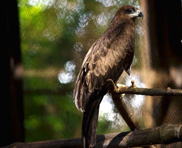 Indian Birds Indianeagle Eagle Eagle Eye Eaglephotography