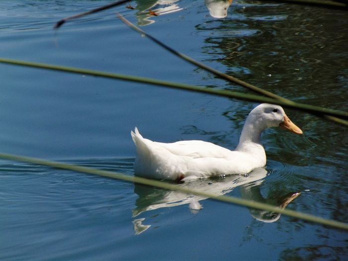 White Duck Animal Animal Themes Animals In The Wild Beak Beauty In Nature Bird Day Floating On Water Lake Nature No People One Animal Reflection Scenics Swan Swimming Tranquil Scene Tranquility Water Water Bird Water Surface Waterfront White Color Wildlife Zoology