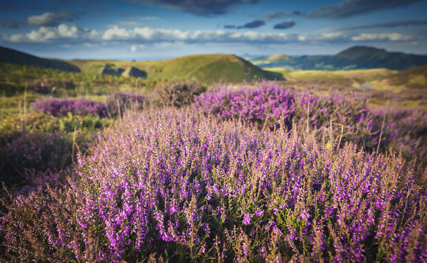 Upland Heather England, UK Shrubs United Kingdom Upland Beauty In Nature Bloom Blooming Day Field Focus On Foreground Freshness Growth Heather Landscape Mountain Nature No People Outdoors Plant Purple Scenics Shropshire Sky Tranquil Scene Tranquility Perspectives On Nature