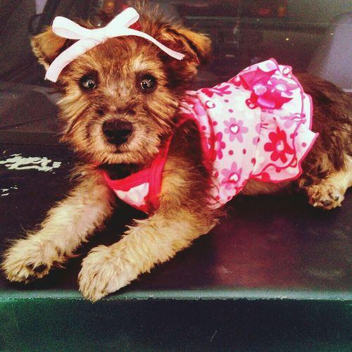 My baby Happy Dog Pet Rescue Beatiful Dog Yorkshire