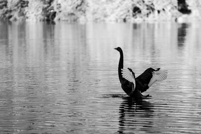 Black Swan spreading wings on Lake Eildon, Australia. Animal Themes Animal Wildlife Animals In The Wild Beauty In Nature Bird Black Black Swan Day Focus On Foreground Lake Nature No People One Animal Outdoors Reflection Spread Wings Swan Swimming TakeOff Water Water Bird Waterfront