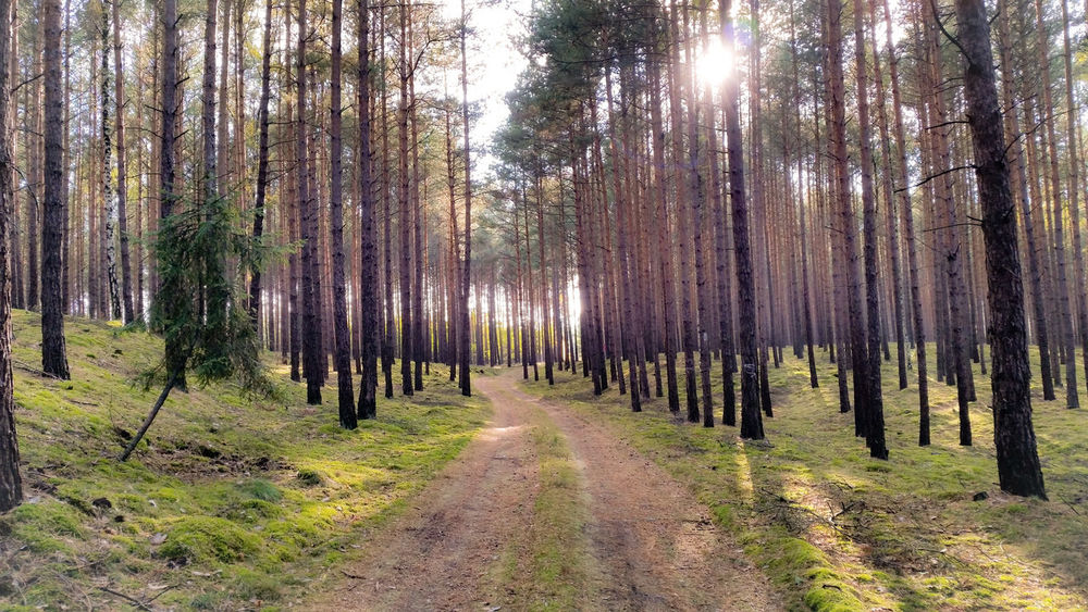 Forest road Forest Pine Forest Pine Trees Road Pine Poland Lubuskie Magical Forest Fresh Air