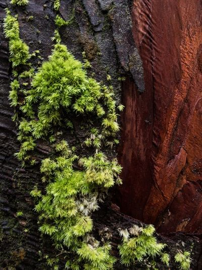 Azores Azores, S. Miguel Beauty In Nature Cedar Tree Close-up Day Furnas Growth Moss Nature No People Outdoors Plant Portugal Textured  Tree Tree Trunk