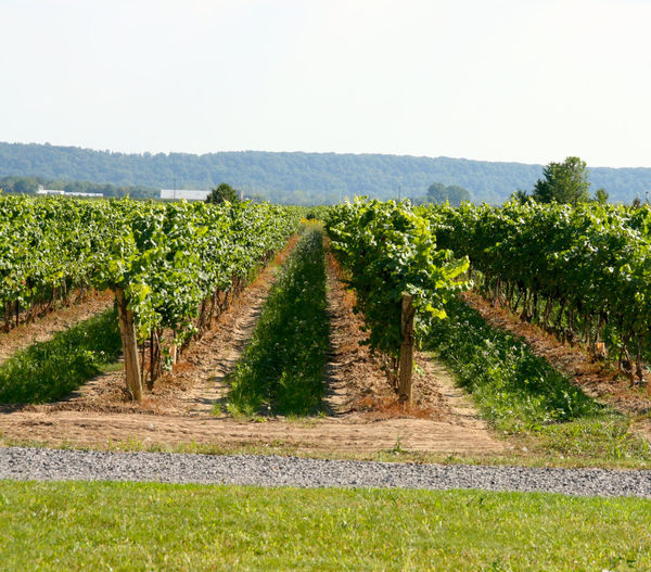 Winery Grapes Grape Fields Nature Agriculture Winemaking Vineyard