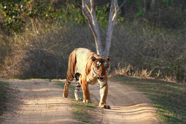 Male Tiger