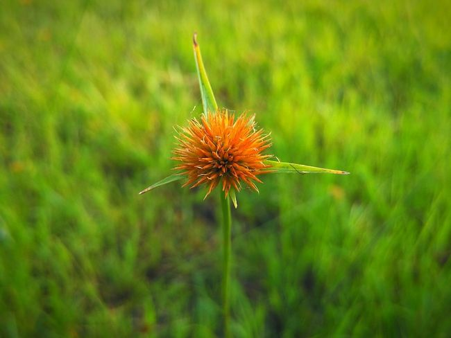 Orange thistle flower head. Flower Fragility Grass Freshness Flower Head Growth Grass Flower Macro Depth Of Field Orange Flower Grass Flowers Thistle Poppy Inflorescence Infloroscence Dry Flower  Flowerhead Spiky Pointed Withered Flower Xiaomi Mi4i Orange Green Botany Thorns Thorns And Beauty