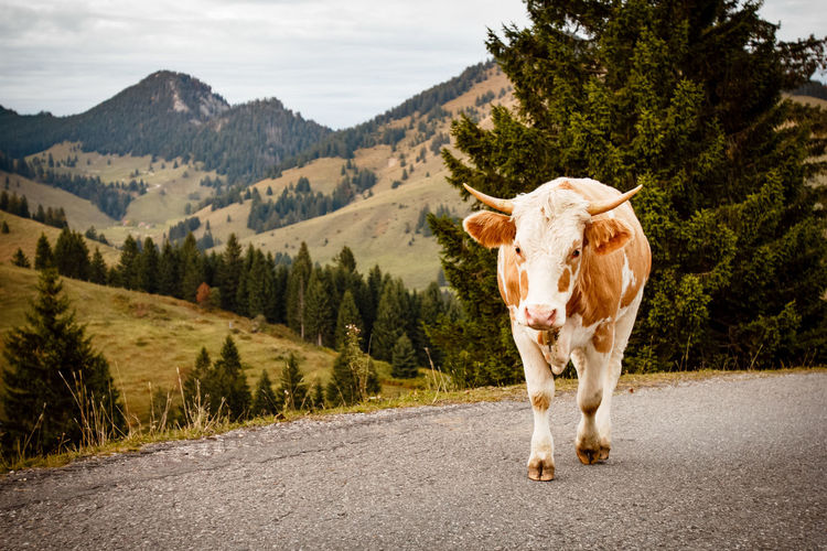 Cow walking on country road against green mountains