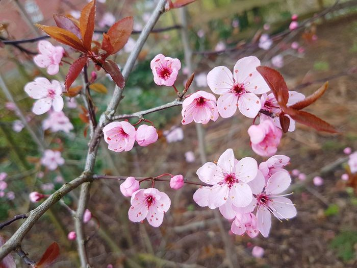 Spring is starting to romp Flower Pink Color Nature Beauty In Nature No People Fragility Petal Growth Outdoors Freshness Close-up Flower Head Day Blossoms  Blossoms Blooming Pink Pink Blossoms Pink Blossom Pink Blossom Tree Tree Branch Signs Of Spring Spring Springtime Springtime Blossoms