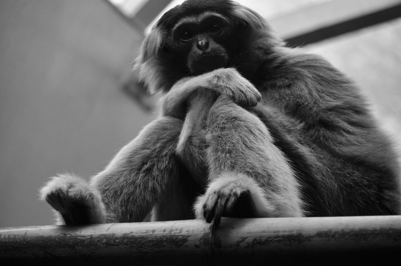 Lovin' this monkey! Animals In The Wild Black & White Calm EyeEm Best Shots EyeEm Nature Lover EyeEmNewHere Zoo Animal Themes Black And White Blackandwhite Close-up Contrast Day Mammal Monkey Nature No People One Animal Outdoors Posing Posing For The Camera Sitting Zoo Animals  Zoology Zoophotography