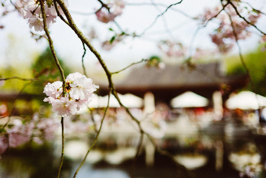 Kirschblütenfest Asian  Asian Culture Cherry Blossoms Beauty In Nature Blossom Branch Cherry Blossom Cherry Tree Cherryblossom Close-up Flower Flower Head Flowering Plant Focus On Foreground Fragility Freshness Growth No People Outdoors Petal Spring Springtime Twig Vulnerability  White Color