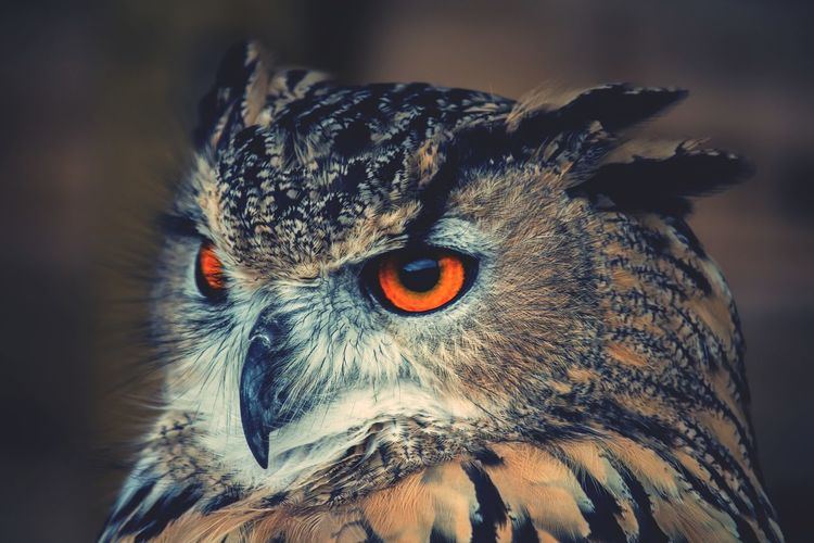 Close-up of a begali eagle owl