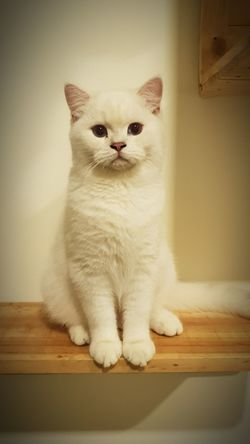 British Shorthair Little Hill House Cattery Pets Sitting Portrait Feline Domestic Cat Looking At Camera