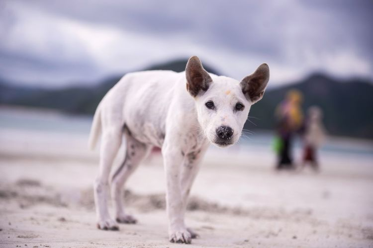 dogs walk on the desolated sea shore of Selong Belanak, Middle Lombok. Earthquakes crushing the island on July 2018 has affected its tourism sector, decreasing its visitors. ASIA Lombok-Indonesia INDONESIA Earthquake Tourist Tourism Dog Pets Beach Sea Dog Sand Beauty Purebred Dog